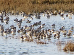Miscellaneous waders at Two Tree Island lagoon, including Knot, Grey Plover and Dunlin